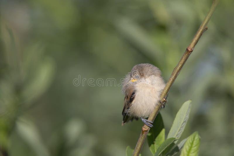 少年欧亚penduline山雀Remiz pendulinus飞行在巢外面并且睡着了在一个芦苇分支 免版税图库摄影
