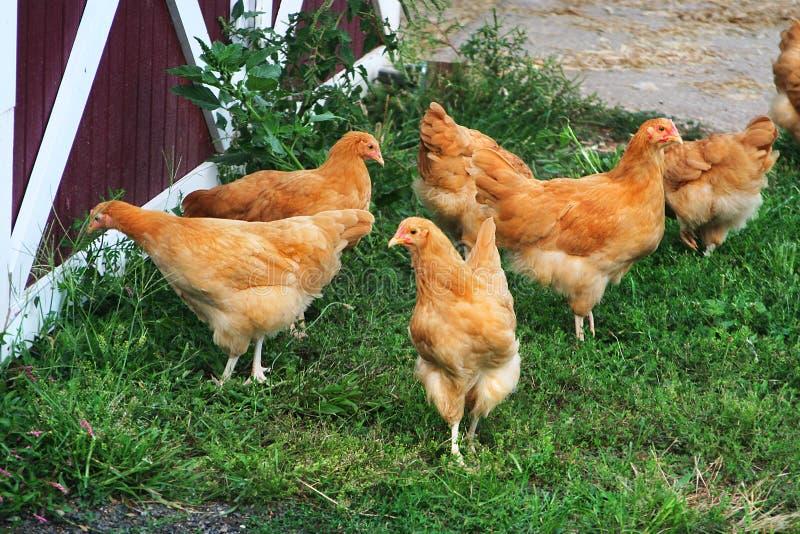 少年母鸡在夏天仓库广场会集 库存照片