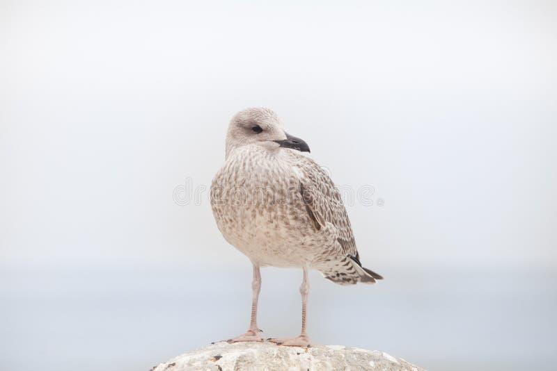 少年海鸥观看 免版税库存照片