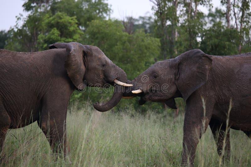 少年男性大象在Hwage国家公园,津巴布韦,大象,象牙,大象` s眼睛小屋演奏战斗 免版税库存照片