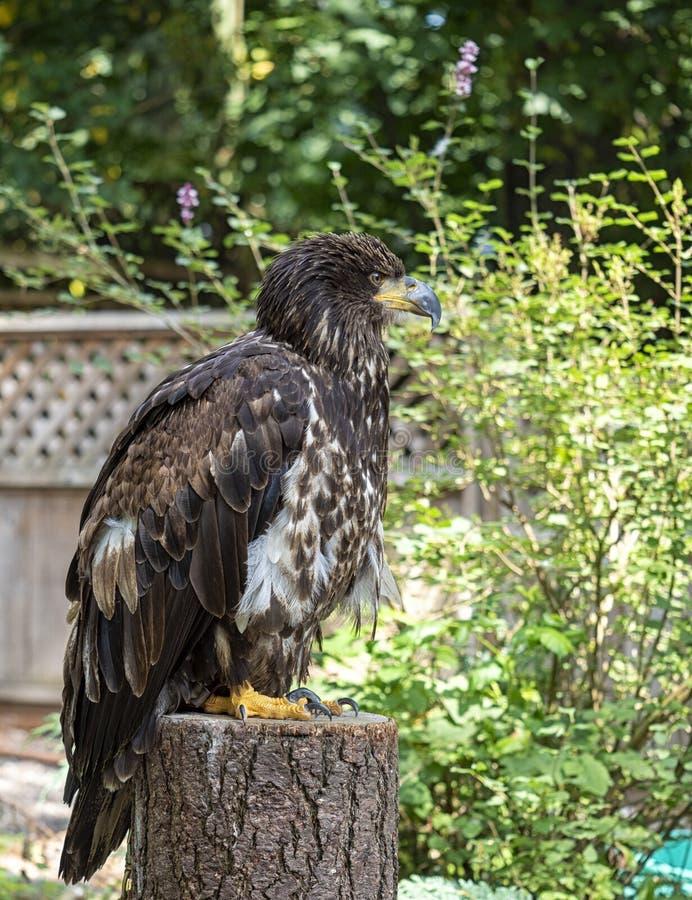 少年白头鹰坐勘测后院的风景的树桩 库存图片