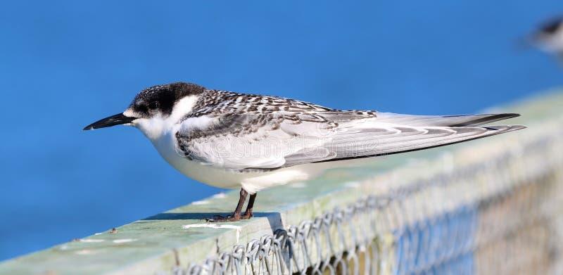少年白色朝向的燕鸥,新西兰的海鸟 库存照片