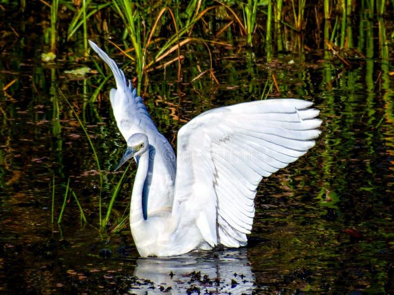 少年矮小的蓝色苍鹭,假装是天鹅 库存图片