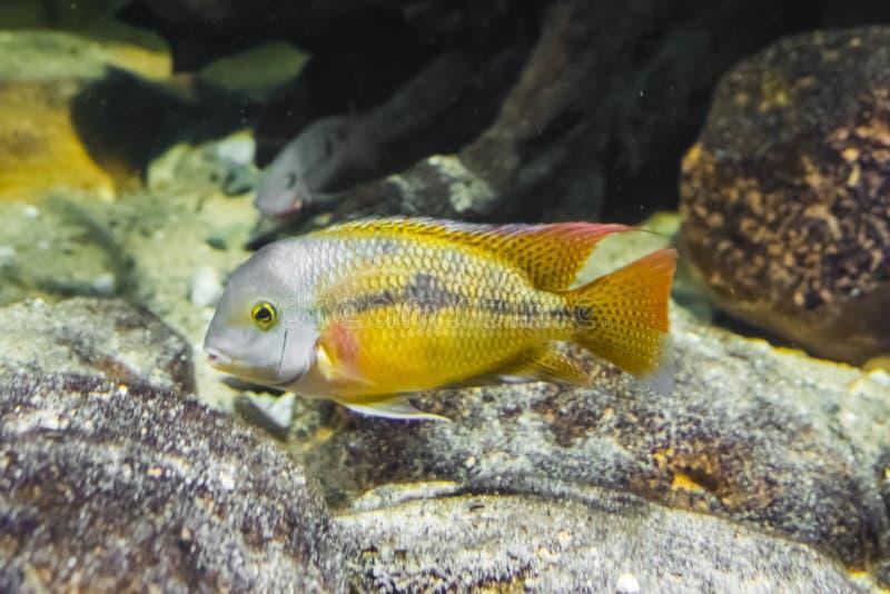 少年蝴蝶丽鱼科鱼,一条热带和五颜六色的鱼从美国的大西洋倾斜 免版税库存照片