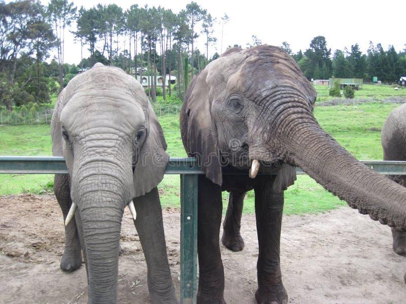 少年非洲大象-南非 免版税库存图片