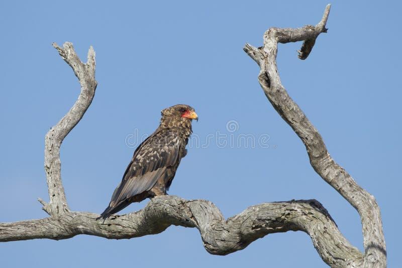 少年Bateleur老鹰(Terathopius ecaudatus)南非 库存照片