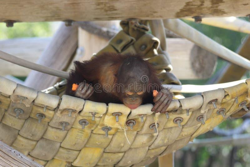 少年Bornean猩猩类人猿pygmaeus 免版税库存图片
