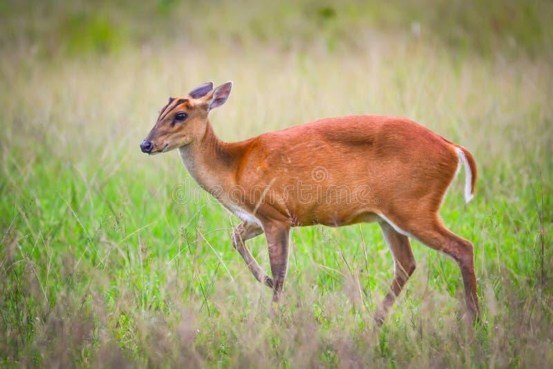 少许在泰国国家公园草原的亲爱的身分  库存照片