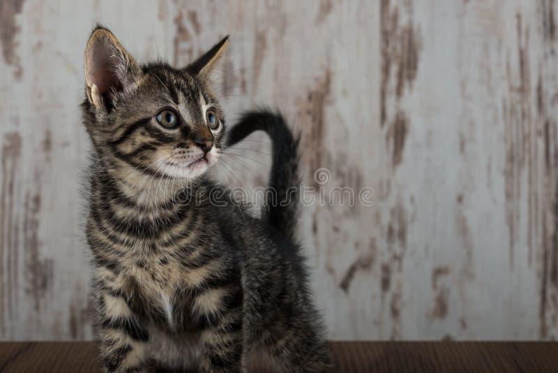 少量在白色木背景的星期年纪平纹小猫雄猫 图库摄影