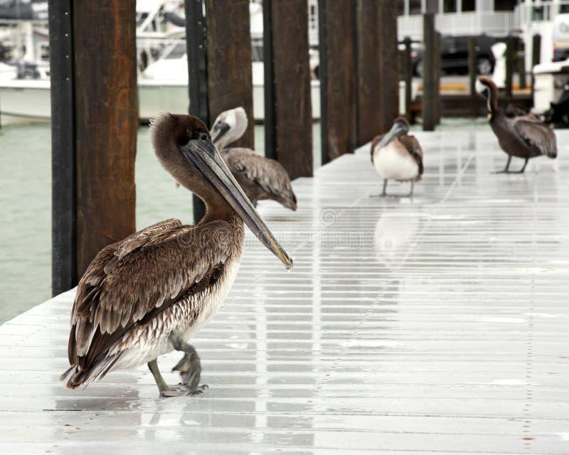 少量棕色鹈鹕 佛罗里达,南跳船,墨西哥湾 库存照片