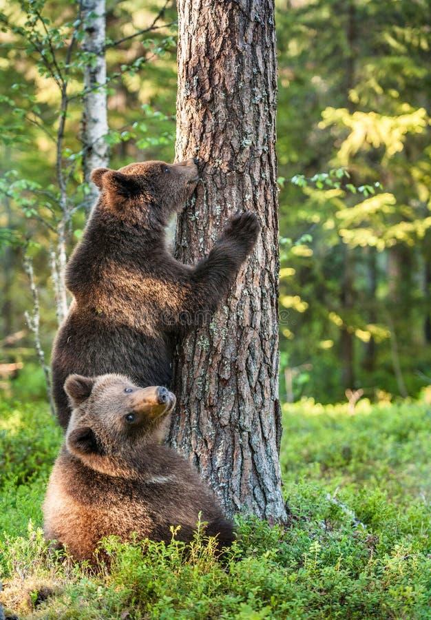 少年棕熊& x28; 熊属类Arctos Arctos& x29;在树的攀登 免版税库存图片