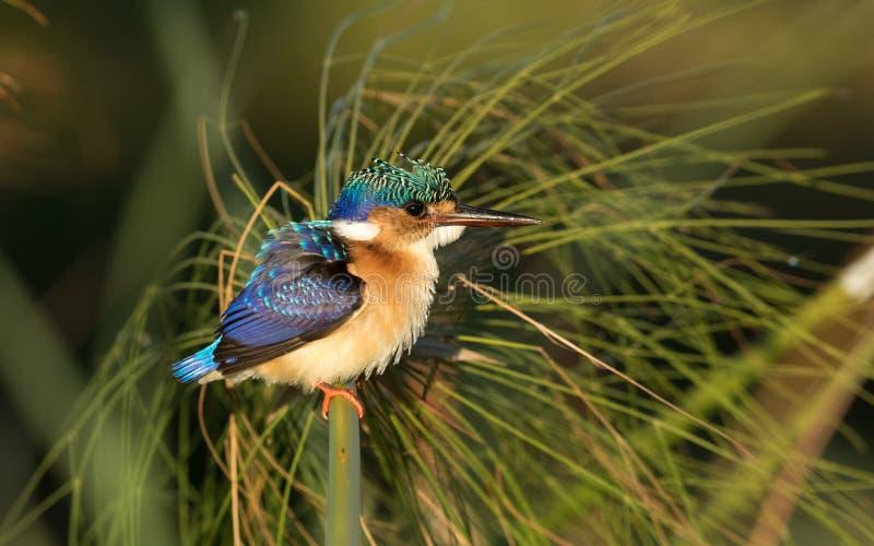 少年绿沸铜翠鸟,博茨瓦纳 免版税库存图片