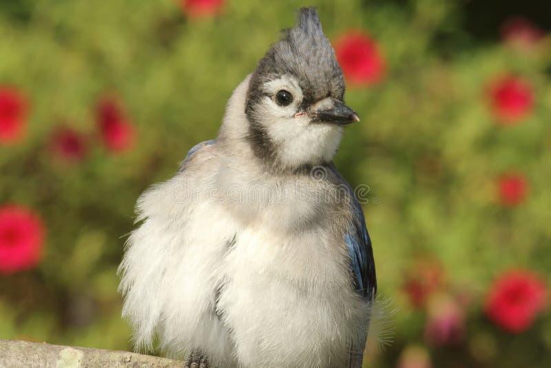 少年蓝色尖嘴鸟(corvid cyanocitta) 免版税库存图片