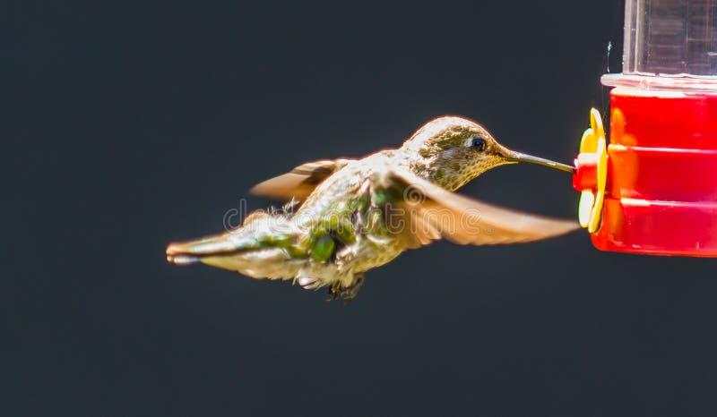 少年Anna's蜂鸟 库存照片