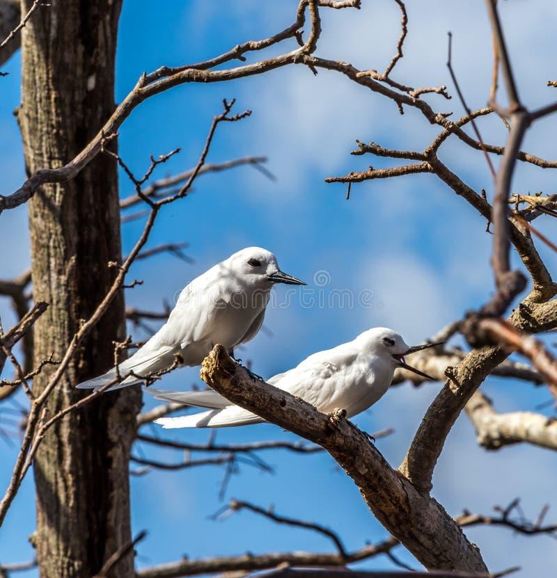 费尔南多・迪诺罗尼亚群岛海鸟  图库摄影