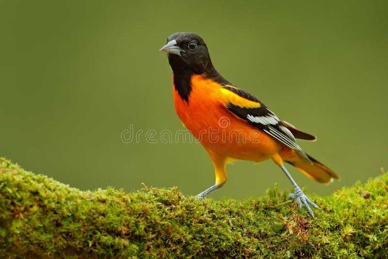 巴尔的摩金莺,黄疸galbula,坐绿色青苔分支 热带海鸟在自然栖所 野生生物在哥斯达黎加 或者 库存图片