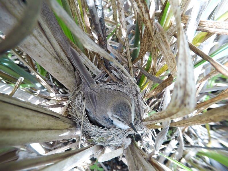 尖头畸型agricola Paddyfield鸣鸟的巢在nat的 免版税库存图片