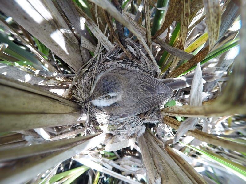 尖头畸型agricola Paddyfield鸣鸟的巢在nat的 库存照片