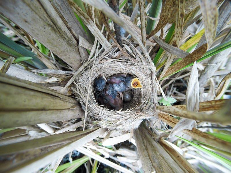 尖头畸型agricola Paddyfield鸣鸟的巢在nat的 库存图片