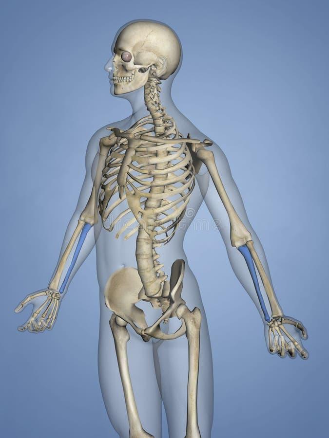 尺骨,人的骨骼, 3D模型 皇族释放例证