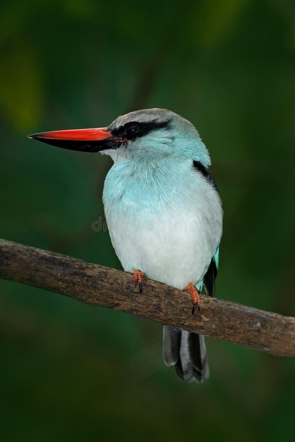 从尼日利亚,非洲的翠鸟青的breasted翠鸟,太平senegalensis,在黑暗的森林栖所的美丽的鸟 Kingfis 库存照片