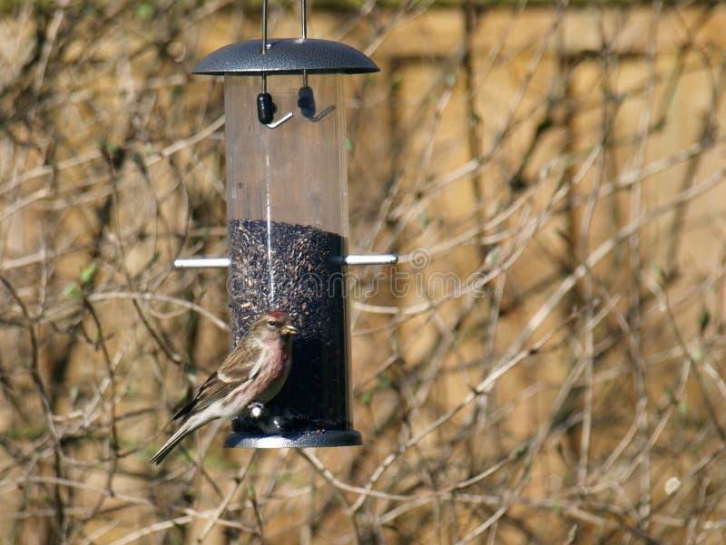 尼日尔种子饲养者的一点红弱鸟Carduelis余兴节目 免版税图库摄影