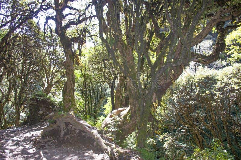 尼泊尔森林中美丽的榕树 免版税库存照片