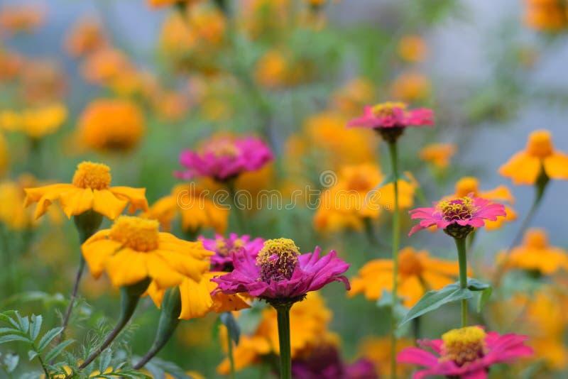 尼泊尔琅塘国家公园山区的黄紫花 免版税库存照片