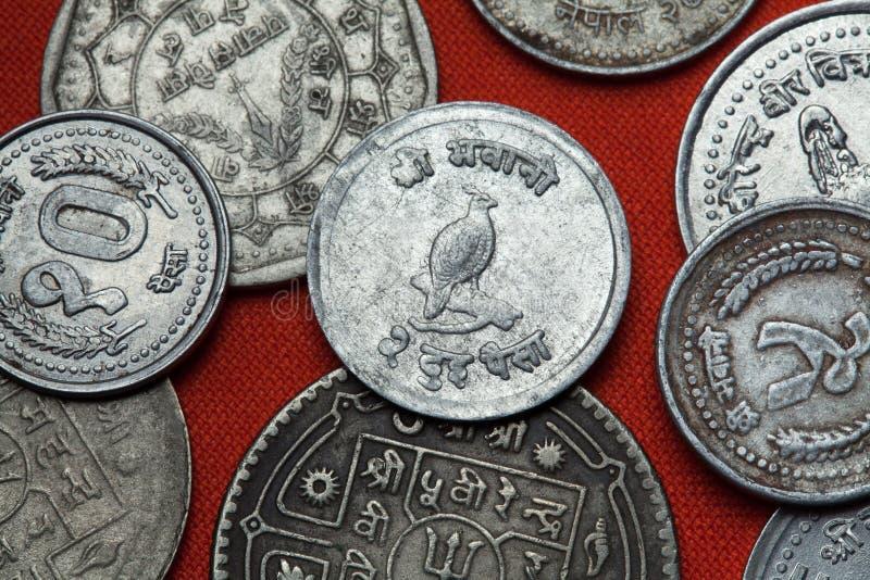 尼泊尔的硬币 喜马拉雅monal (Lophophorus impejanus) 库存图片