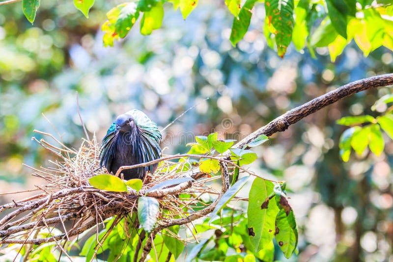 尼科巴鸽子或Caloenas nicobarica 免版税库存图片