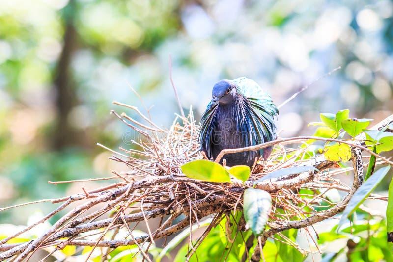 尼科巴鸽子或Caloenas nicobarica 库存图片