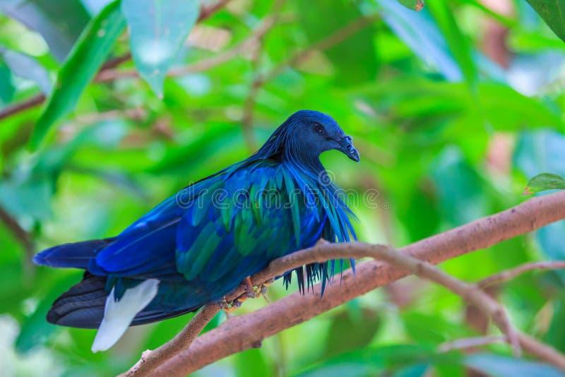 尼科巴鸽子或Caloenas nicobarica 库存照片