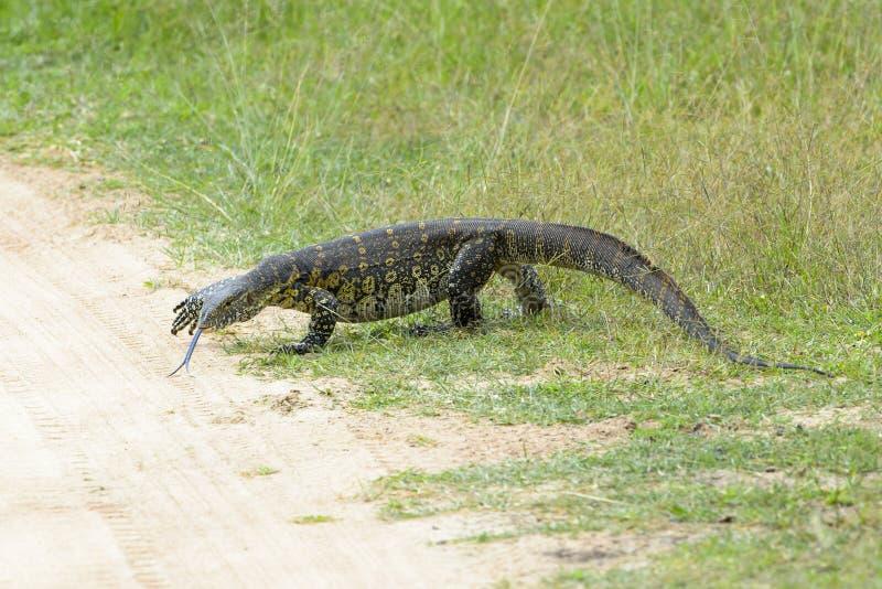 尼罗在路的监控蜥蜴 免版税库存照片