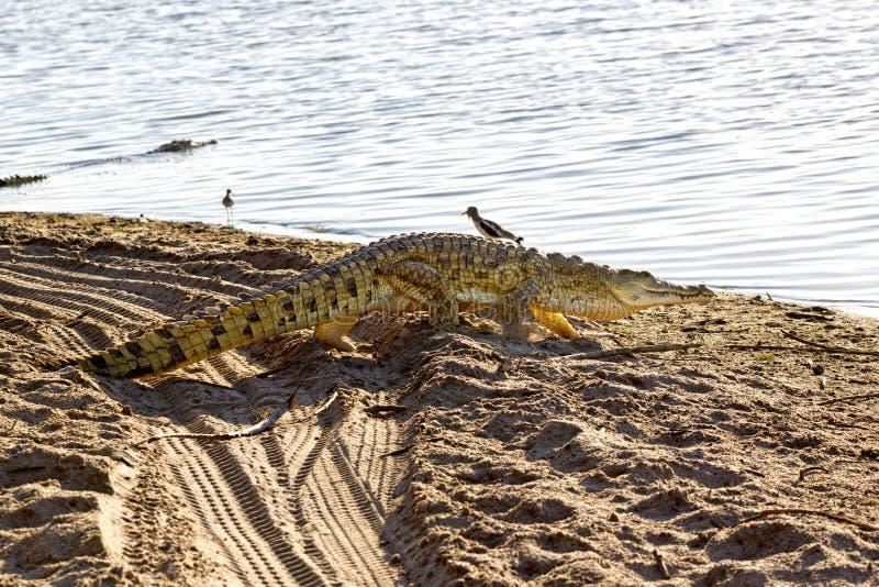 尼罗鳄鱼,塞卢斯禁猎区,坦桑尼亚 免版税库存图片