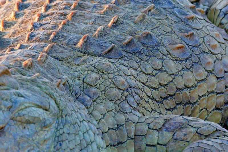 尼罗鳄鱼,湾鳄niloticus皮肤,与开放枪口,在河岸中,奥卡万戈三角洲,Moremi,博茨瓦纳 野生生物 图库摄影