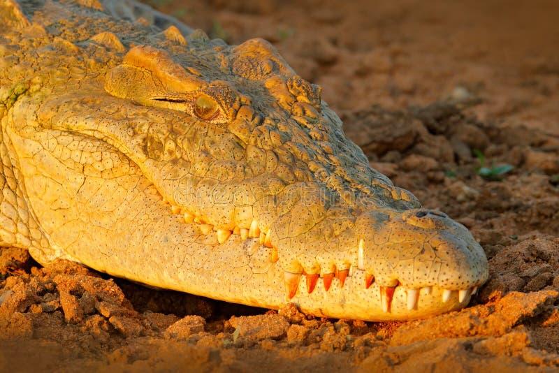 尼罗鳄鱼,湾鳄niloticus,与开放枪口,在河岸中,奥卡万戈三角洲,Moremi,博茨瓦纳 野生生物场面从 库存照片