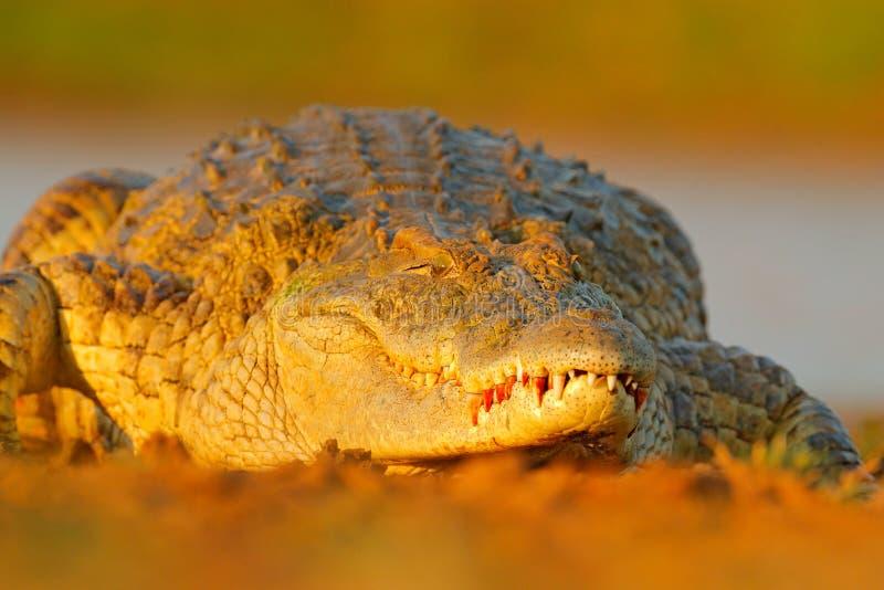 尼罗鳄鱼,湾鳄niloticus,与开放枪口,在河岸中,奥卡万戈三角洲,Moremi,博茨瓦纳 野生生物场面从 免版税图库摄影