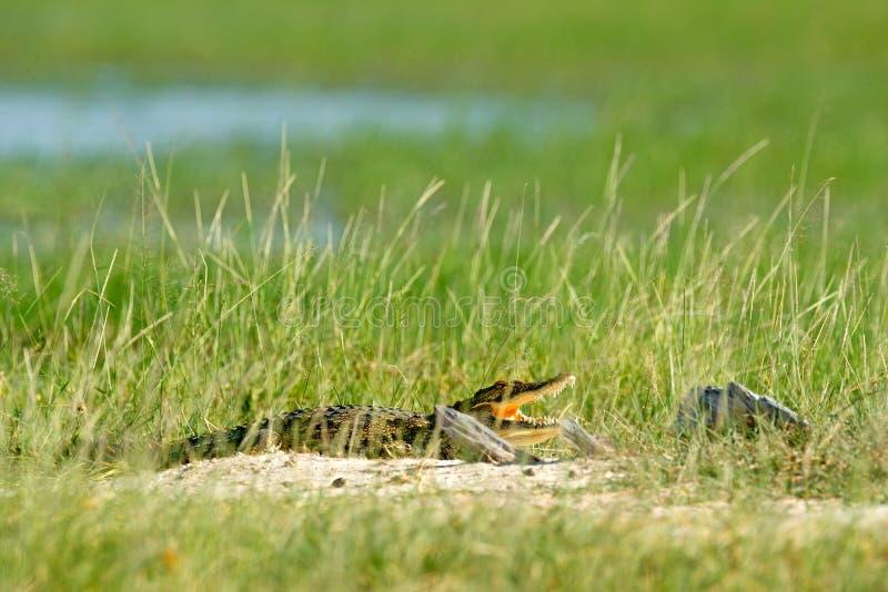 尼罗鳄鱼,湾鳄niloticus,当开放枪口,在草掩藏, Okavango三角洲, Moremi,博茨瓦纳 野生生物场面为 库存照片