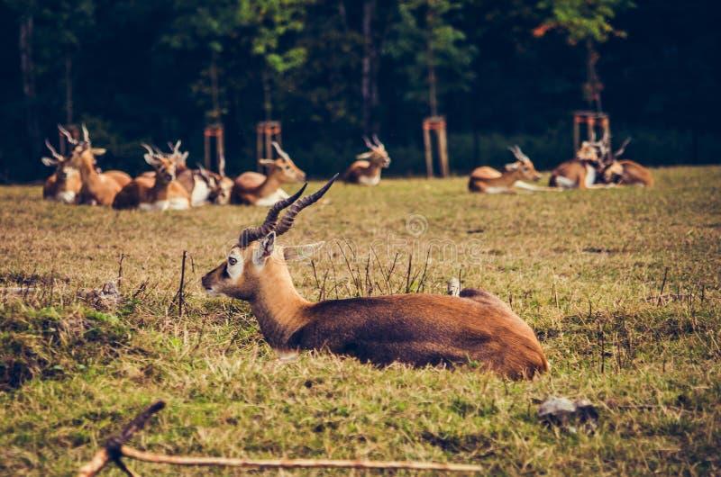尼罗lechwe或Gray夫人` s lechwe水羚属megaceros 免版税库存图片