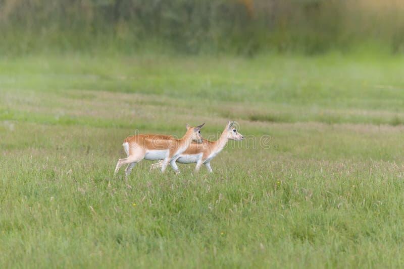 尼罗Lechwe羚羊 库存图片