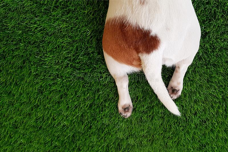 尾巴和爪子一条逗人喜爱的狗在绿色草坪 免版税库存图片