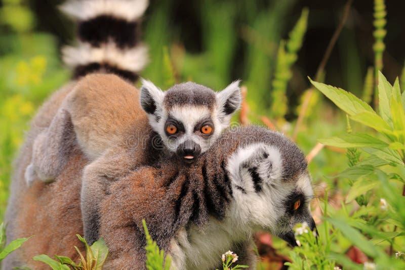 尾部有环纹小的狐猴 免版税库存图片