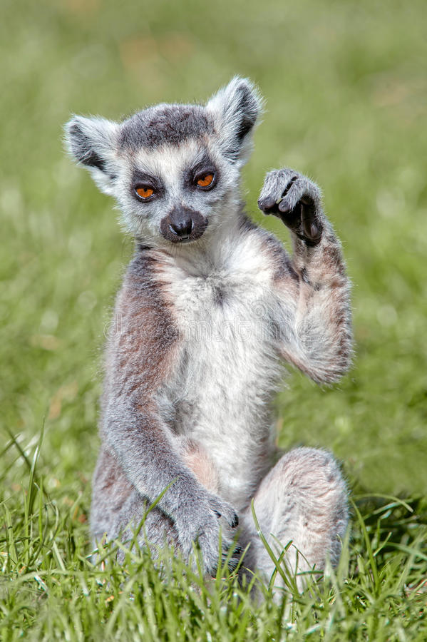 尾部有环纹小的狐猴 免版税库存照片