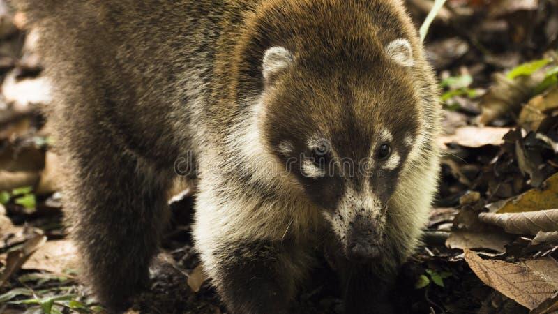 尾部有环纹的浣熊美洲浣熊美洲浣熊特写镜头  库存图片