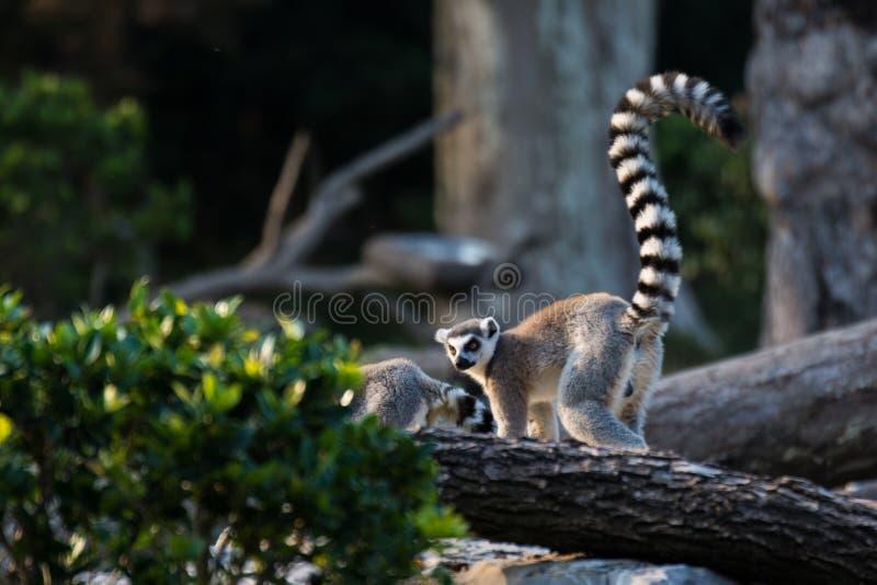 尾部有环纹的狐猴 免版税库存照片