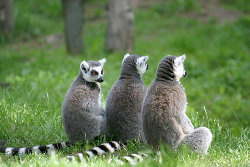 尾部有环纹系列的狐猴 库存图片