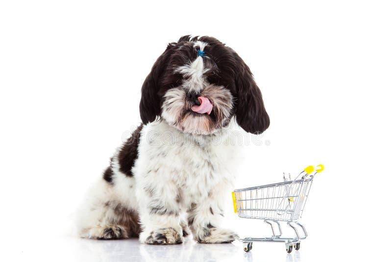 尾随与在白色背景狗隔绝的购物台车的Shih tzu 库存图片