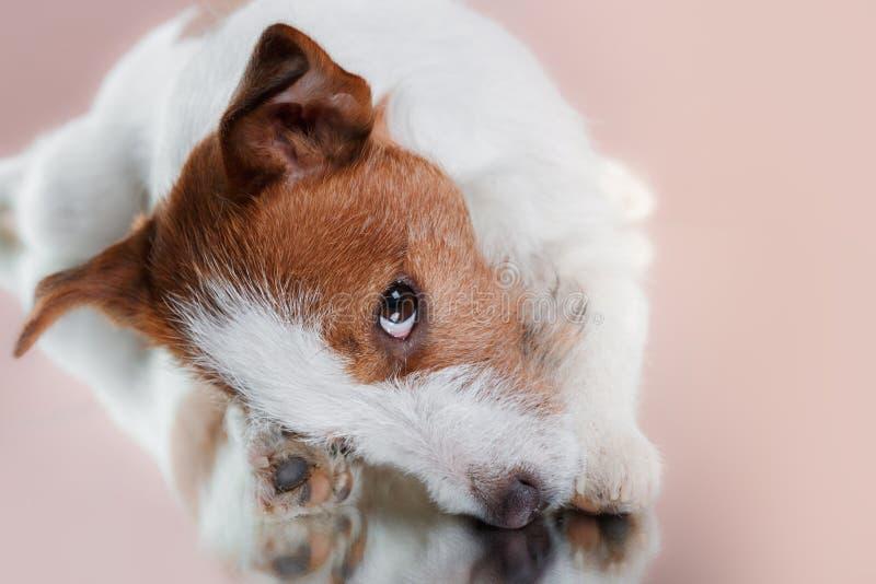 尾随品种在演播室颜色背景的杰克罗素狗 库存照片