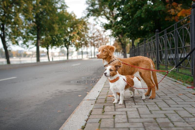 尾随品种新斯科舍鸭子敲的猎犬和杰克罗素狗 免版税库存图片