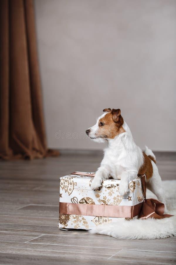 尾随品种杰克罗素狗在演播室颜色背景的画象狗 图库摄影